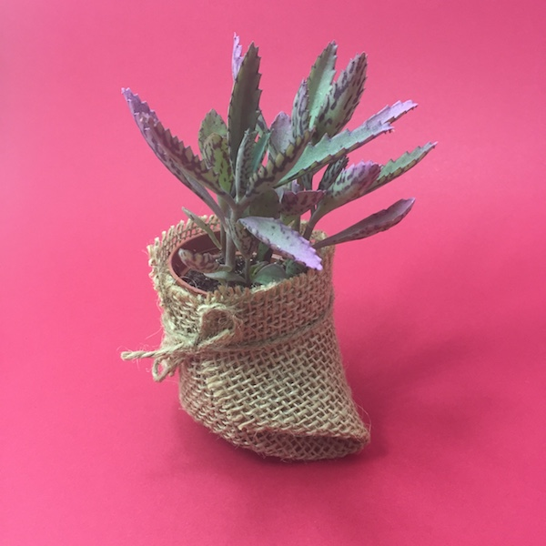 Suculenta en saco de Yute / Succulent Sack Jute - mod 01