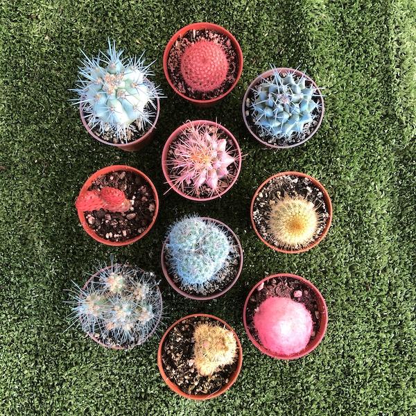 Lote bandejas de cactus. El taller del encanto. Decoración de jardines e interiores