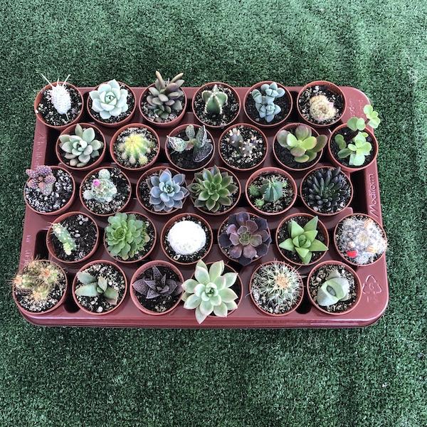 Lote bandejas surtidas cactus suculentas echeverias. El taller del encanto