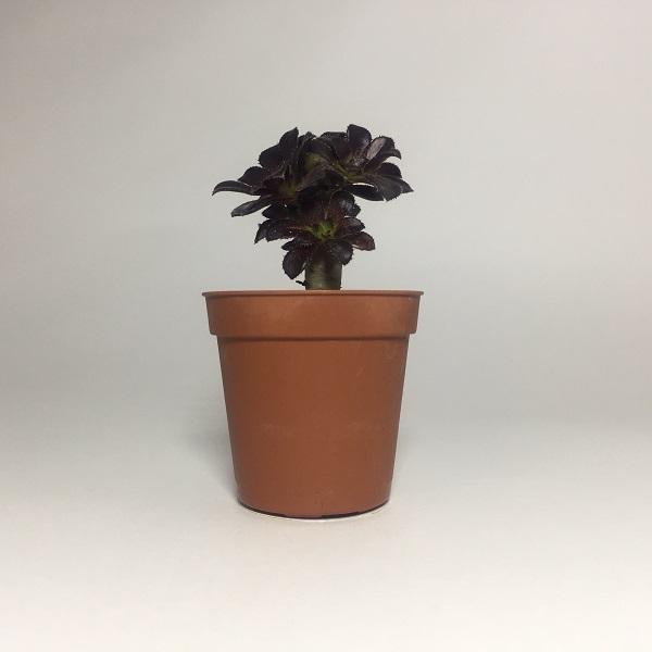 Cactus Aeonium Arboreum. Maceta de plástico redonda de 5,5cm de diámetro y 5cm de alto.