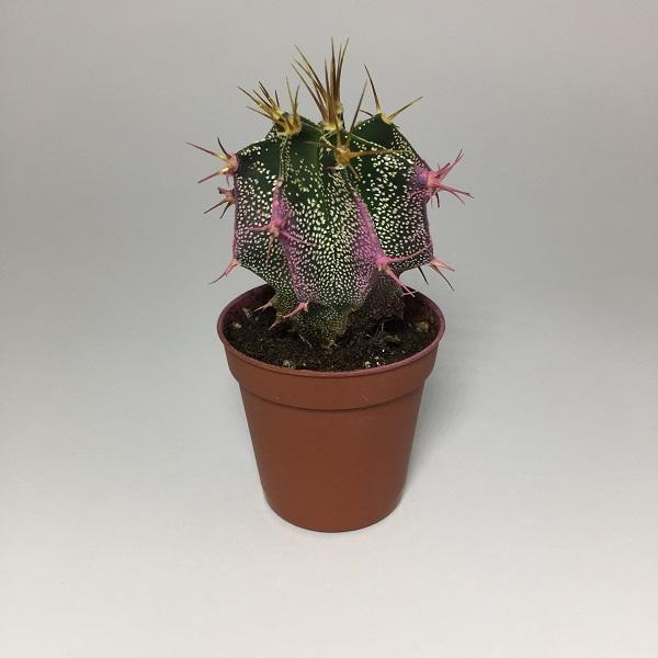 Cactus Astrophytum Ornatum rosa. Maceta de plástico redonda de 5,5cm diámetro y 5cm de alto