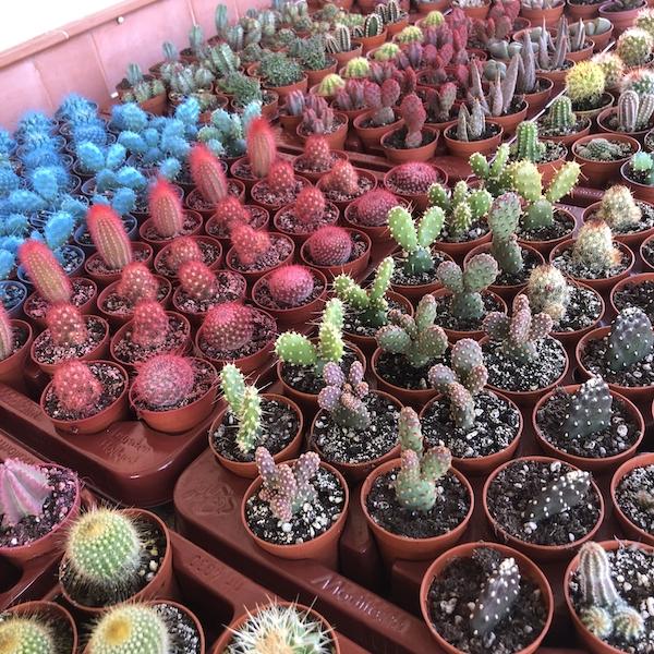 Bandejas cactus