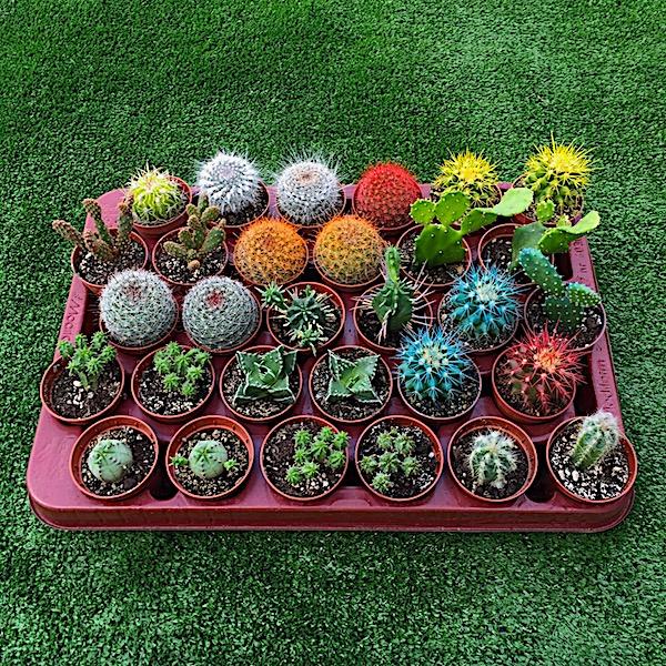 Lote Bandeja 50 cactus con diferentes variedades de géneros y de especies.