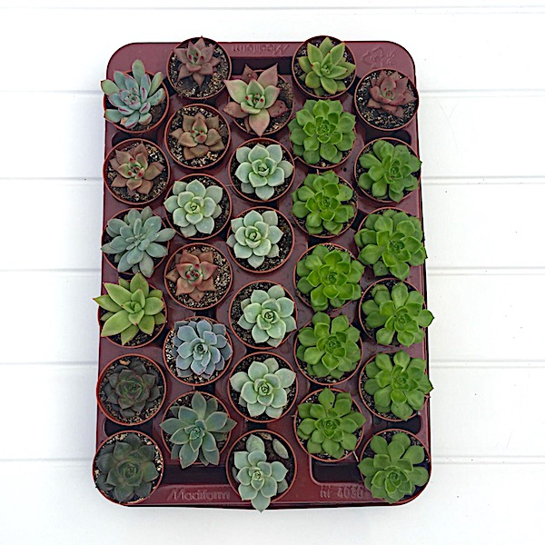 Bandeja echeveria variadas. 20 plantas por bandeja