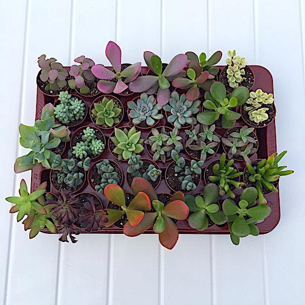 Bandeja suculentas variadas. 20 plantas mínimo
