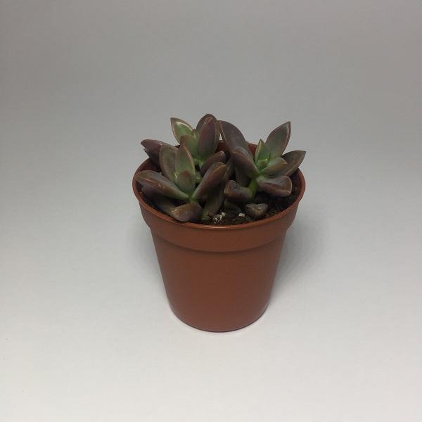 Suculenta Crassula Nudicaulis Platyphylla. Maceta de plástico redonda de 5,5cm diámetro y 5cm de alto