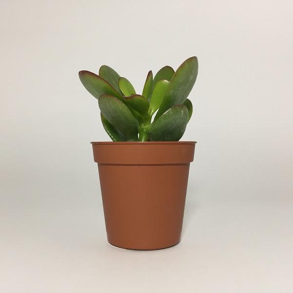 Suculenta Crassula Ovata Minor. Maceta de plástico redonda de 5,5cm de diámetro y 5cm de alto
