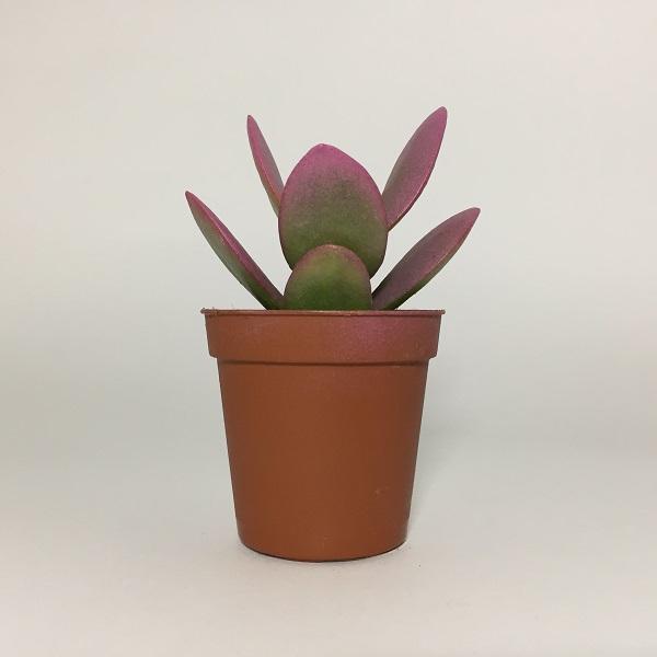 Suculenta Crassula Ovata Minor ROSA. Maceta de plástico redonda de 5,5cm diámetro y 5cm de alto