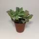 Suculenta Crassula Ovata Undulata. Maceta de plástico redonda de 5,5cm diámetro y 5cm de alto