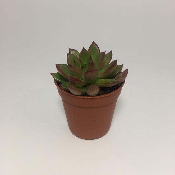 Suculenta Echevaria Agavoides. Maceta de plástico redonda de 5,5cm diámetro y 5cm de alto