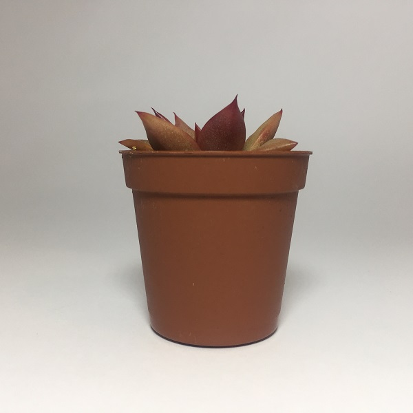 Suculenta Echevaria Agavoides Romeo. Maceta de plástico redonda de 5,5cm diámetro y 5cm de alto