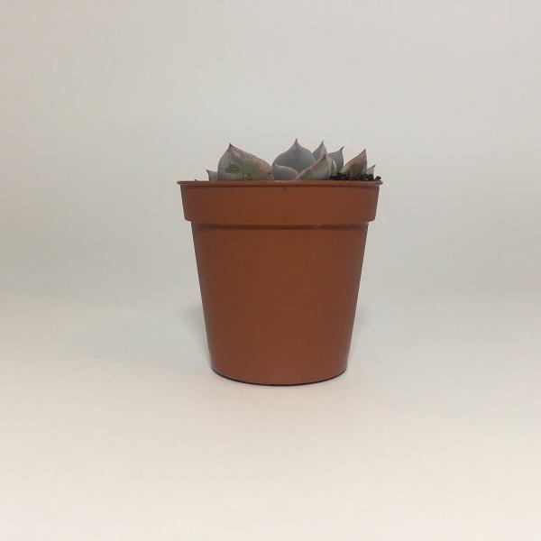 Suculenta Echevaria Colorata. Maceta de plástico redonda de 5,5cm diámetro y 5cm de alto