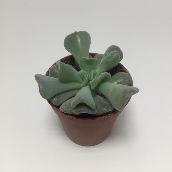 Suculenta Echevaria Cubic Frost . Maceta de plástico redonda de 5,5cm de diámetro y 5cm de alto
