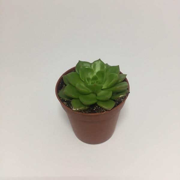 Suculenta Echevaria Elegans . Maceta de plástico redonda de 5,5cm de diámetro y 5cm de alto