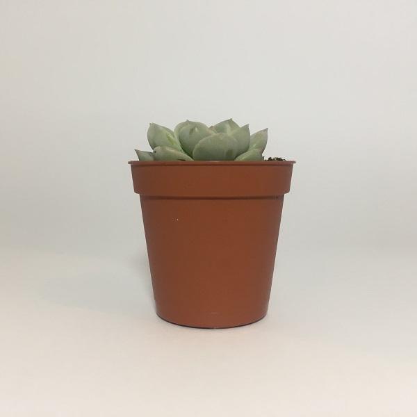 Suculenta Echevaria Monroe. Maceta de plástico redonda de 5,5cm de diámetro y 5cm de alto
