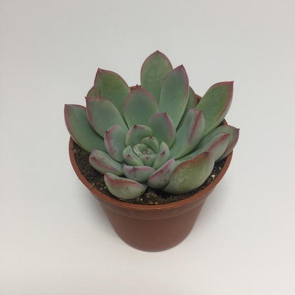 Suculenta Echevaria Orión. Maceta de plástico redonda de 5,5cm de diámetro y 5cm de alto