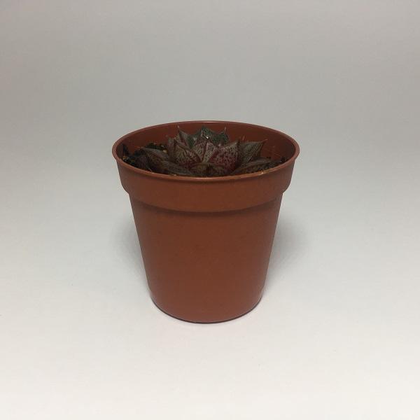 Suculenta Echevaria Purpusorum. Maceta de plástico redonda de 5,5cm diámetro y 5cm de alto