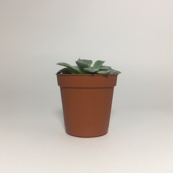 Suculenta Echevaria Shamrock. Maceta de plástico redonda de 5,5cm diámetro y 5cm de alto