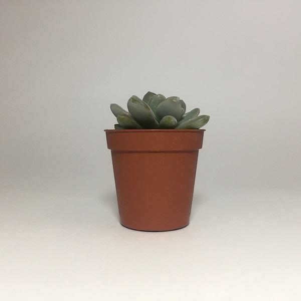 Suculenta Echevaria Viride. Maceta de plástico redonda de 5,5cm diámetro y 5cm de alto