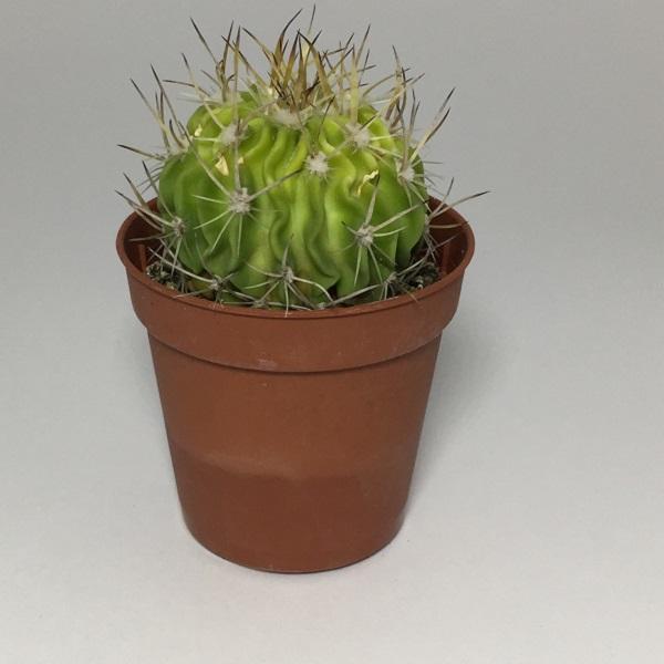 Cactus Echinocactus Arrigens. Maceta de plástico redonda de 5,5cm diámetro y 5cm de alto