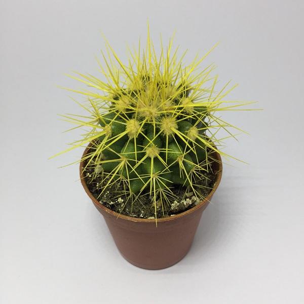 Cactus Echinocactus Grusonii. Maceta de plástico redonda de 5,5cm diámetro y 5cm de alto color amarillo