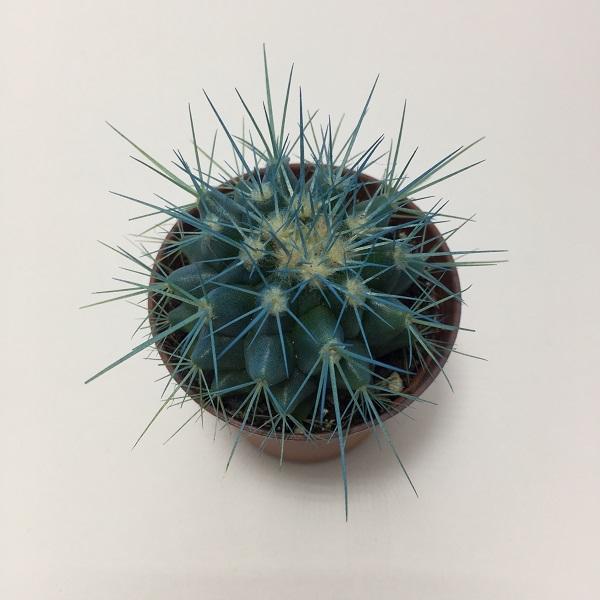 Cactus Echinocactus Grusonii. Maceta de plástico redonda de 5,5cm diámetro y 5cm de alto color azul