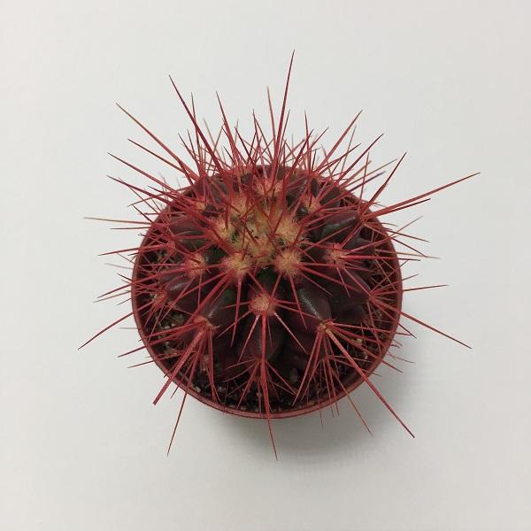 Cactus Echinocactus Grusonii. Maceta de plástico redonda de 5,5cm diámetro y 5cm de alto color rojo