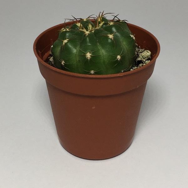 Cactus Echinopsis Obrepanda. Maceta de plástico redonda de 5,5cm diámetro y 5cm de alto
