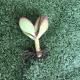 Esquejes. Plantas crasas surtidas con raíz desnuda en tamaño pequeño. Plantas crasas. Cactus, suculentas y echeverias. Tienda online. El Taller del Encanto
