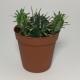 Cactus Euphorbia Aggregata. Maceta de plástico redonda de 5,5cm diámetro y 5cm de alto
