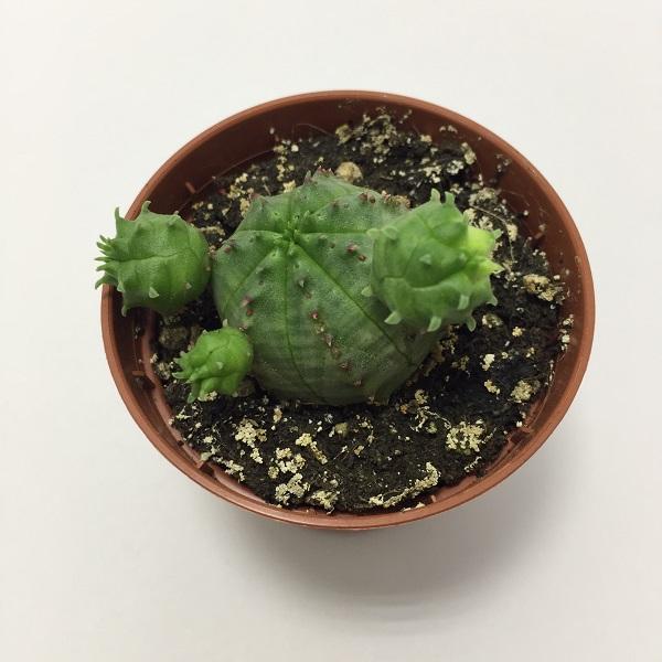 Cactus Euphorbia Obesa. Maceta de plástico redonda de 5,5cm diámetro y 5cm de alto