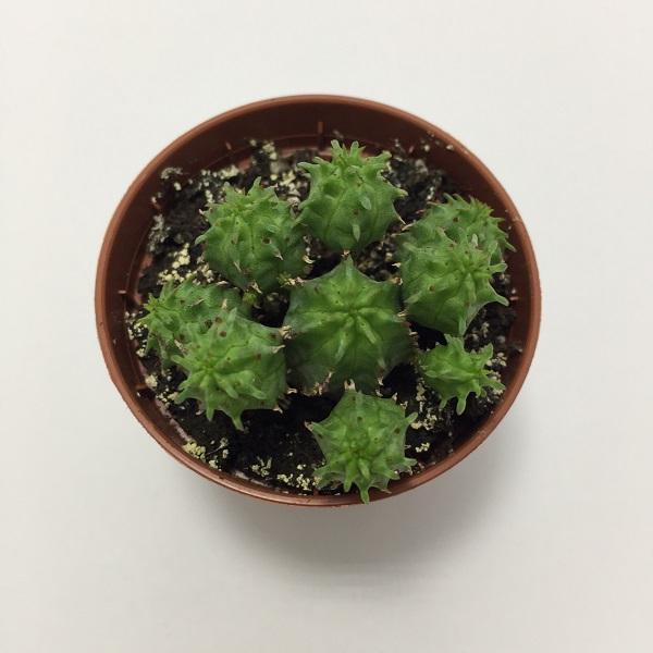 Cactus Euphorbia Suzannae. Maceta de plástico redonda de 5,5cm diámetro y 5cm de alto