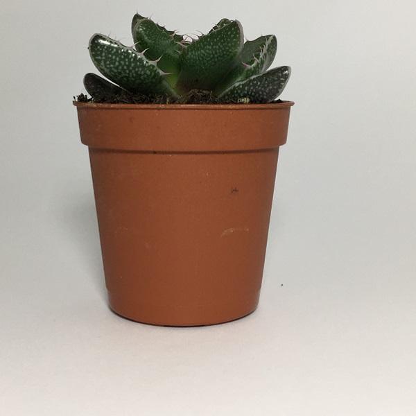 Cactus Faucaria Tigrina. Maceta de plástico redonda de 5,5cm diámetro y 5cm de alto