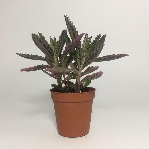 Suculenta Kalanchoe Daigremontiana . Maceta de plástico redonda de 5,5cm diámetro y 5cm de alto