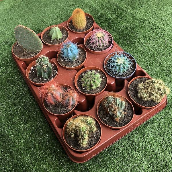 Lote Bandeja cactus variados de 8,5cm de diámetro y 7cm de alto 1