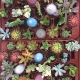 Lote Bandeja cactus variados de 5,5cm de diámetro y 5cm de alto. 2