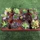 Lote Bandeja cactus variados de 5,5cm de diámetro y 5cm de alto. 1