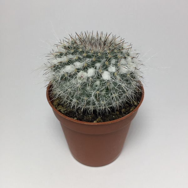 Cactus Mammillaria Bombycina. Maceta de plástico redonda de 5,5cm diámetro y 5cm de alto