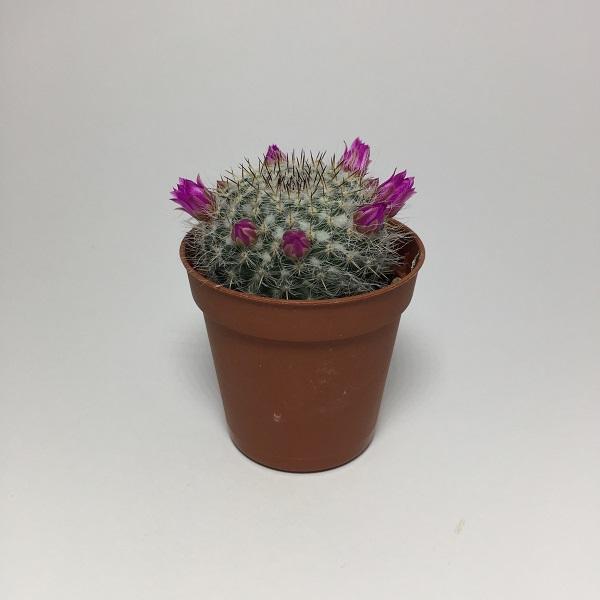 Cactus Mammillaria Hahniana. Maceta de plástico redonda de 5,5cm diámetro y 5cm de alto