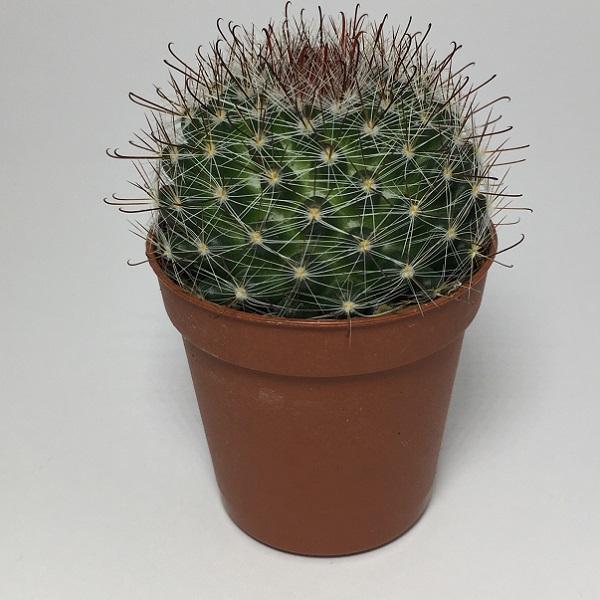 Cactus Mammillaria Marcosii. Maceta de plástico redonda de 5,5cm diámetro y 5cm de alto color azul