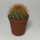 Cactus Mammillaria Marcosii. Maceta de plástico redonda de 5,5cm diámetro y 5cm de alto color naranja