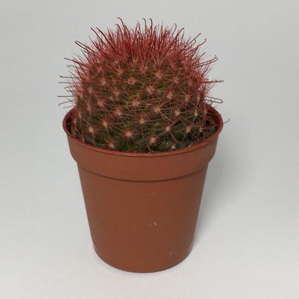 Cactus Mammillaria Marcosii. Maceta de plástico redonda de 5,5cm diámetro y 5cm de alto color rojo