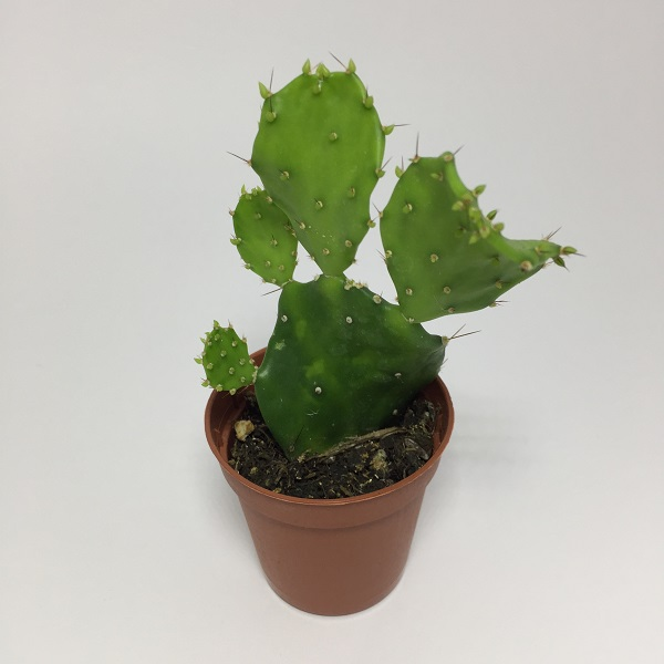 Cactus Opuntia Anacantha. Maceta de plástico redonda de 5,5cm diámetro y 5cm de alto