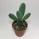 Cactus Opuntia Microdasys. Maceta de plástico redonda de 5,5cm diámetro y 5cm de alto color azul