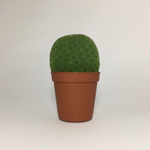 Cactus Opuntia Robusta. Maceta de plástico redonda de 5,5cm diámetro y 5cm de alto