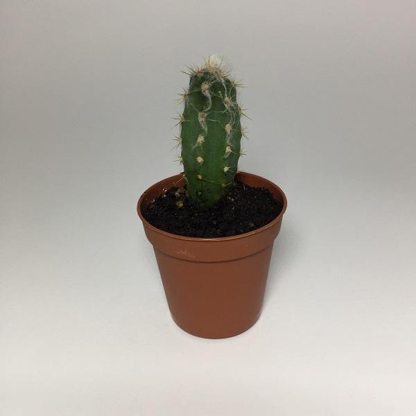Cactus Oreocereus Celsianus. Maceta de plástico redonda de 5,5cm diámetro y 5cm de alto