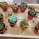 Plantas crasas promoción. Pack 10 uds. Med. 5,5cm de diámetro y 5cm altura. El Taller del Encanto. Tienda online. Cactus y suculentas para decorar.