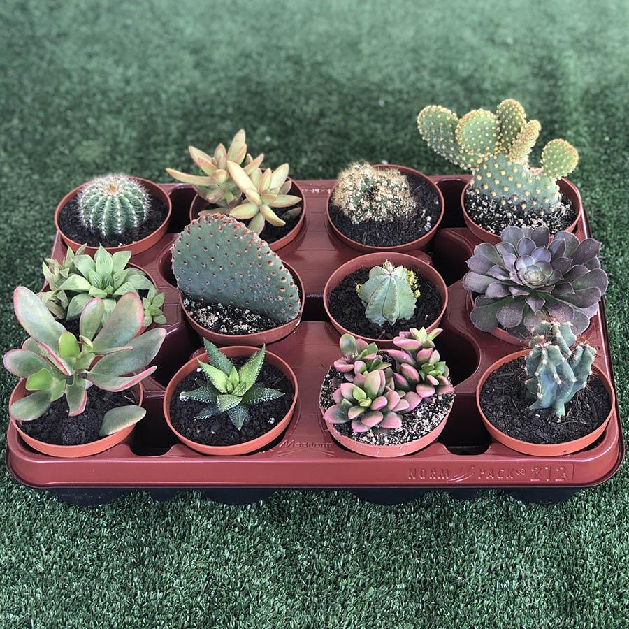 Lote bandejas surtidas de cactus, suculentas, echeverias. El taller del encanto. Decoración de jardines e interiores