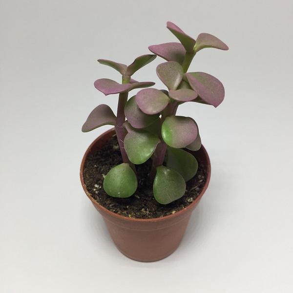 Suculenta Portulacaria Afra Rosa. Maceta de plástico redonda de 5,5cm diámetro y 5cm de alto