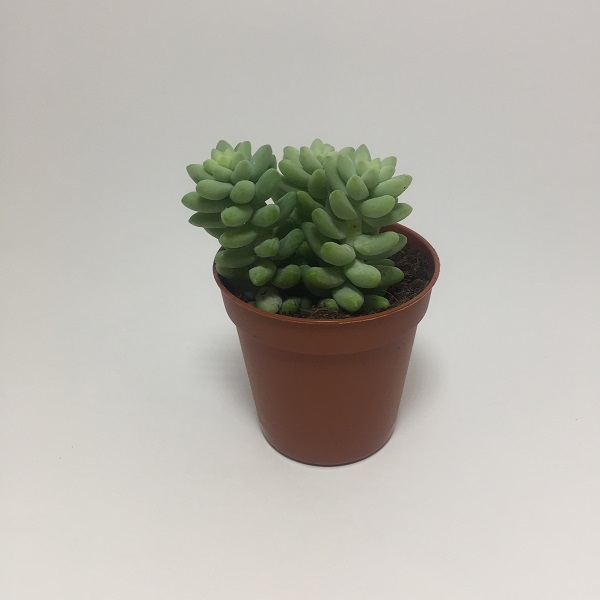 Suculenta Sedum Morganianum. Maceta de plástico redonda de 5,5cm diámetro y 5cm de alto